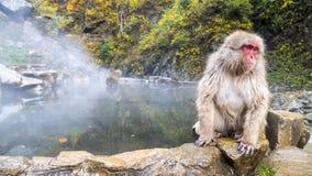 Snow monkey in hotspring at fall season Royalty Free Stock Photos