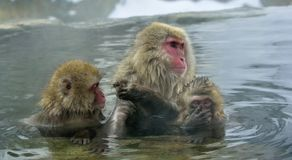 Free Snow Monkey In Natural Hot Spring. Stock Image - 111989641