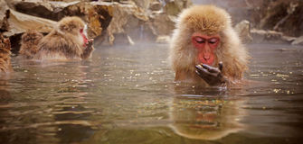 Snow monkey Royalty Free Stock Photography