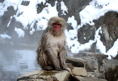 Snow Monkey Stock Image