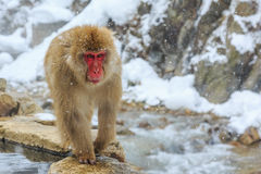 Snow monkey, Japan Royalty Free Stock Image