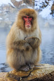 Snow monkey, Japan Royalty Free Stock Photos