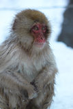 Snow Monkey in Japan Royalty Free Stock Image