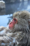 Snow Monkey in Japan Stock Images