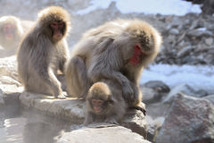 Japanese macaque (Nihon-zaru) Stock Photo