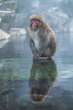 Snow monkey or Japanese Macaque in hot spring onsen Stock Photography