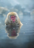 Snow monkey or Japanese Macaque in hot spring onsen Royalty Free Stock Photo