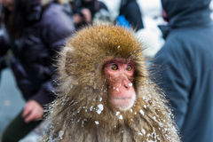 Snow Monkey Royalty Free Stock Photography