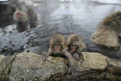 Snow monkey or Japanese macaque, Macaca fuscata Stock Photos
