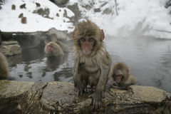 Snow monkey or Japanese macaque, Macaca fuscata Royalty Free Stock Images