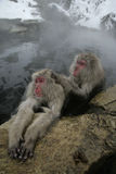 Snow monkey or Japanese macaque, Macaca fuscata Royalty Free Stock Photography