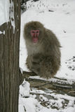 Snow monkey or Japanese macaque, Macaca fuscata Royalty Free Stock Photo