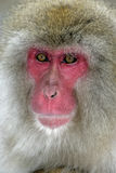 Snow monkey or Japanese macaque, Macaca fuscata Stock Photo