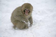 Snow monkey or Japanese macaque, Macaca fuscata. Single mammal on snow, Japan Royalty Free Stock Photos