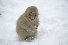 Snow monkey or Japanese macaque, Macaca fuscata Stock Image