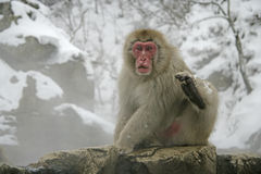 Snow monkey or Japanese macaque, Macaca fuscata. Single mammal by water, Japan Royalty Free Stock Photo