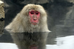 Snow monkey or Japanese macaque, Macaca fuscata. Single mammal in water, Japan Royalty Free Stock Image