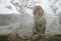 Snow monkey or Japanese macaque, Macaca fuscata. Single mammal in water, Japan Stock Photos
