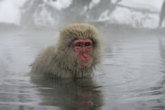 Snow monkey or Japanese macaque, Macaca fuscata Stock Images