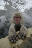 Snow monkey or Japanese macaque, Macaca fuscata. Single mammal in water, Japan Stock Photo