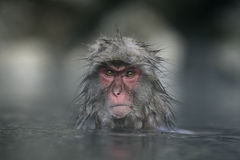 Snow monkey or Japanese macaque royalty free stock photos
