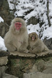 Snow monkey or Japanese macaque, Macaca fuscata Stock Photography