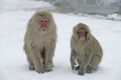 Snow monkey or Japanese macaque, Macaca fuscata Royalty Free Stock Image