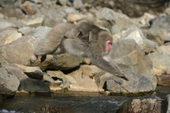 Snow monkey or Japanese macaque Royalty Free Stock Photography