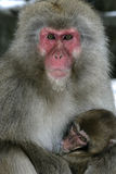 Snow monkey or Japanese macaque Royalty Free Stock Photo