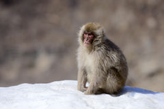 Japanese macaque (Nihon-zaru) Royalty Free Stock Photos