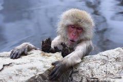 Snow Monkey Stock Photography