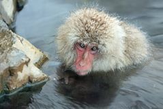 Snow monkey. The Japanese macaque & x28; Scientific name: Macaca fusc royalty free stock photos