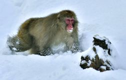 Snow monkey. The Japanese macaque  Scincific name: Macaca fusca. Snow monkey. The Japanese macaque  Scientific name: Macaca fuscata, also known as the snow Royalty Free Stock Photos