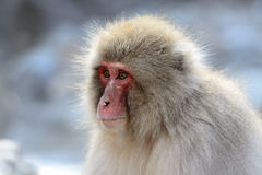 Japanese macaque (Nihon-zaru) Royalty Free Stock Images