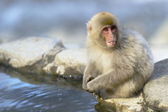 Japanese macaque (Nihon-zaru) Royalty Free Stock Image
