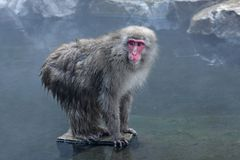 Snow Monkey at Jigokudani royalty free stock photos