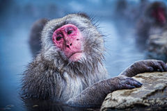 Snow monkey at Jigokudani Monkey Park Royalty Free Stock Image