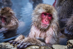 Snow monkey at Jigokudani Monkey Park Stock Photo