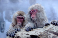 Snow Monkey Royalty Free Stock Photo