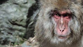 A Snow Monkey look unfriendly Stock Photo