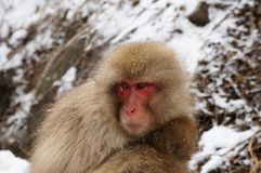 A Photo of a Snow Monkey. A Snow Monkey Looking Down and to the Side royalty free stock image