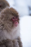 Snow monkey. Is looking for something Royalty Free Stock Image