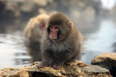 Snow monkey, macaque bathing in hot spring, Nagano prefecture, Japan Royalty Free Stock Photo