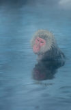 Snow monkey Macaque Onsen Stock Photo