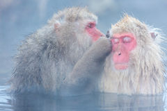Snow monkey Macaque Onsen Royalty Free Stock Photography
