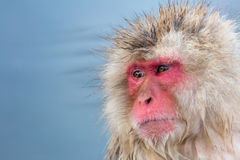 Snow monkey Macaque Onsen Stock Photos