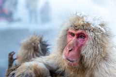 Snow monkey Macaque Onsen Stock Photography