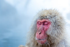 Snow monkey Macaque Onsen Royalty Free Stock Images
