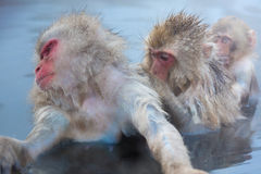 Snow monkey Macaque Onsen Stock Image