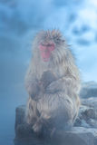 Snow monkey Macaque Onsen Royalty Free Stock Image